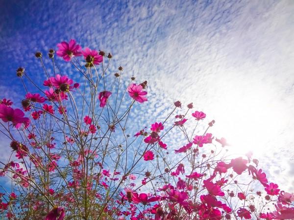 コスモスと初秋の空